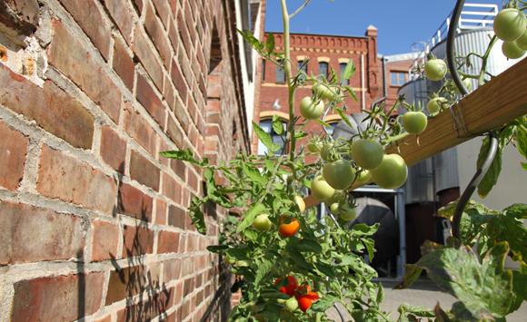 Tomaten der Klosterbrauerei Neuzelle